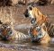 Tigers-in-ranthambore-India-Wildlife
