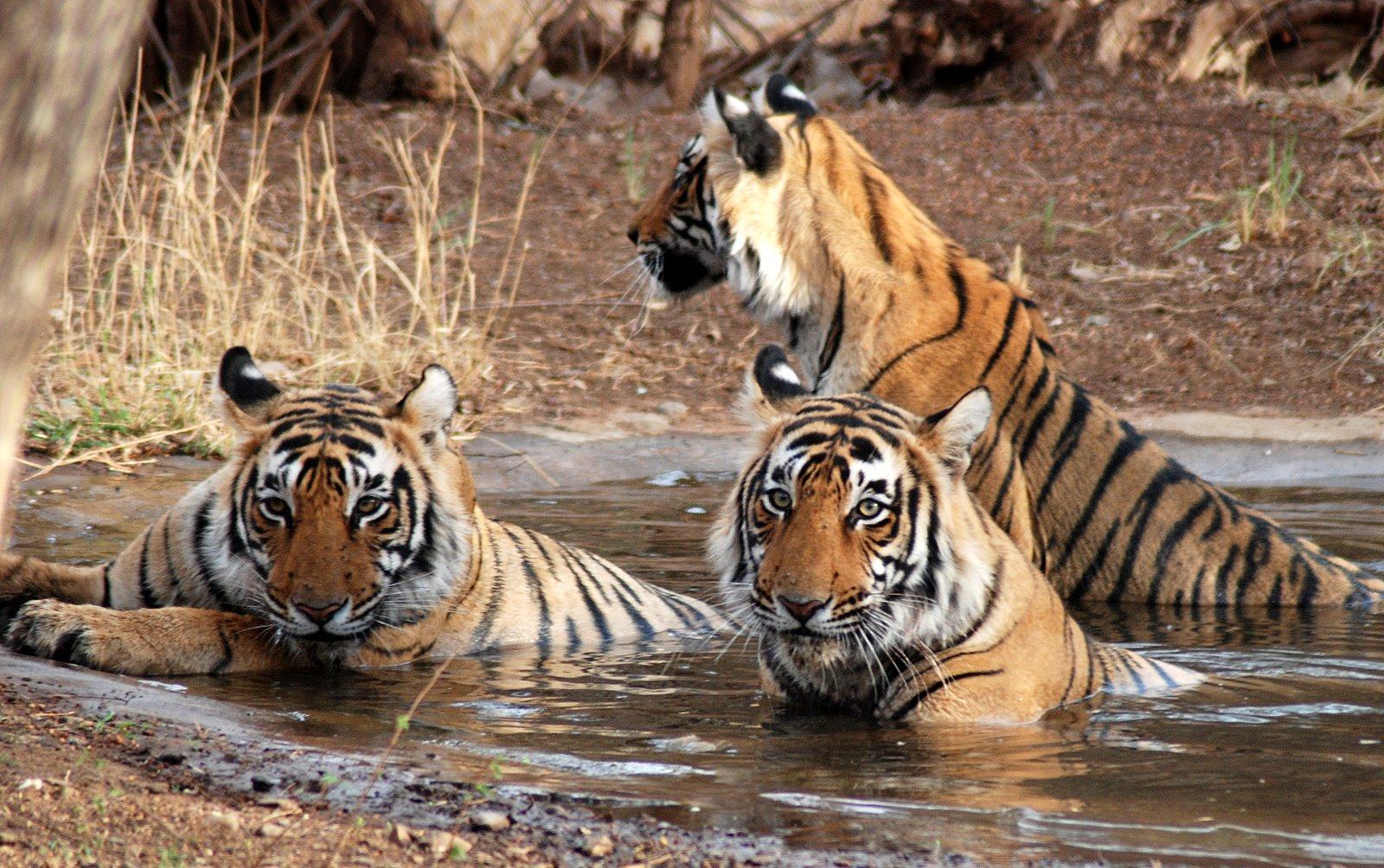 Tigers-in-ranthambore-India-Wildlife