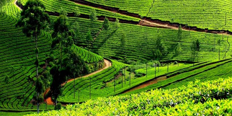 Munnar Tea Garden, Kerala