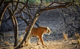 tiger with taj mahal and jaipur tour